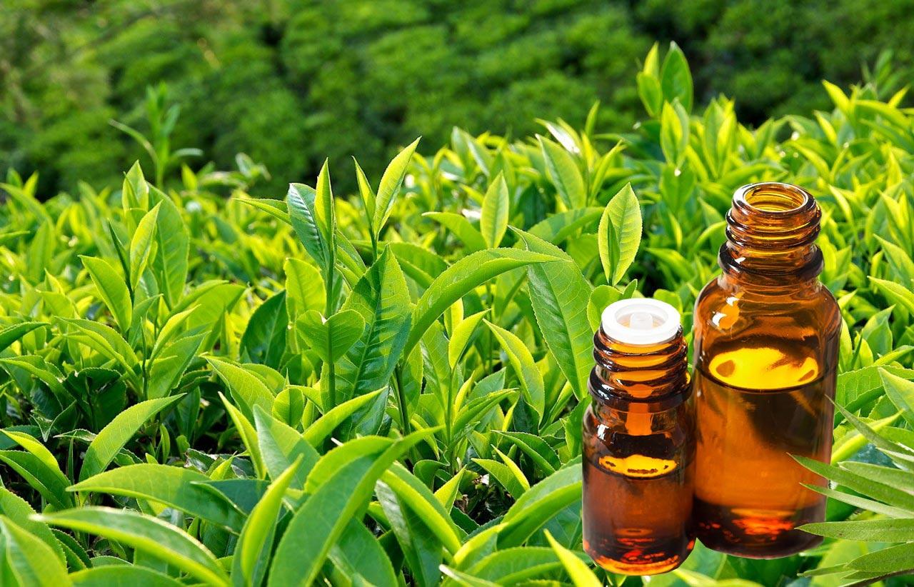 Sử dụng tinh dầu trà sạch mụn sau 1 đêm